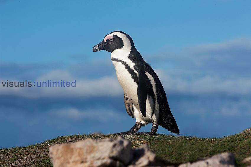 Jackass Penguin or African Penguin (Spheniscus demersus), Betty's Bay, South Africa.