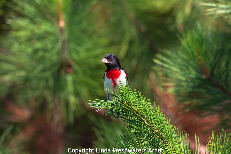 Male rose-breasted grosbeak perched on the branch of a red pine tree.
