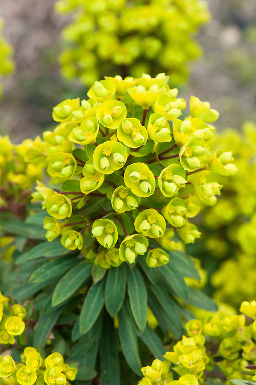 Euphorbia Redwing 'Charam', mid March.