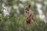 Coyote, Canis latrans, adult marking his Territory, Starr County, Rio Grande Valley, Texas, USA, May 2002