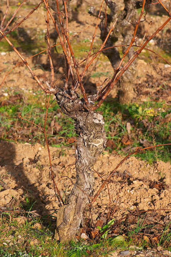 Domaine Piccinini in La Liviniere Minervois. Languedoc. Vines trained in Gobelet pruning. Terroir soil. France. Europe. Vineyard.