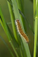 Raupe frisst an Gras, Lasiocampa eversmanni, Pachygastria eversmanni, Lasiocampa aucta, Gasteropacha eversmanni , caterpillar. Glucken, Lasiocampidae