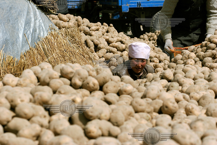 A Muslim woman from the Dongxiang ethnic minority packs potatoes at the trading market. Potatoes are one of the main sources of food and revenue in Dongxiang County.