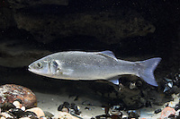 Gemeiner Wolfsbarsch, Wolfs-Barsch, Wolfbarsch, Seebarsch, See-Barsch, Dicentrarchus labrax, syn. Roccus labrax, Morone labrax, sea bass, European sea bass