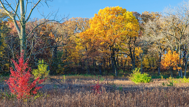 A small red autumn colored shrub highlights the autumn landscape at Oldflield Oaks Forest Preserve, DuPage County, Illinois