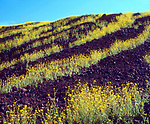 USA, California, Death Valley National Park, Patterns of Desert Sunflowers