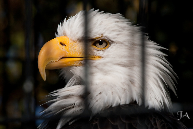 Freedom denied.  Bald Eagle in a cage. The National Symbol as a captive, stares out proudly from behind bars.