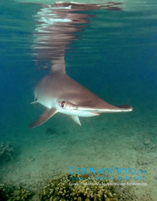 scalloped hammerhead shark, Sphyrna lewini, Oahu, Hawaii, Pacific Ocean.