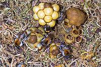 Ackerhummel, Acker-Hummel, Hummel, Nest, Hummelnest, Bombus pascuorum, syn. Bombus agrorum, Megabombus pascuorum floralis, common carder bee