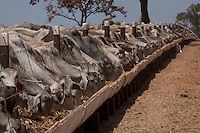 Francisco Dumont_MG, Brasil...Rebanho de gado se alimentando em Francisco Dumont, Minas Gerais. ..Cattle ranching eating in Francisco Dumont, Minas Gerais...Foto: LEO DRUMOND / NITRO
