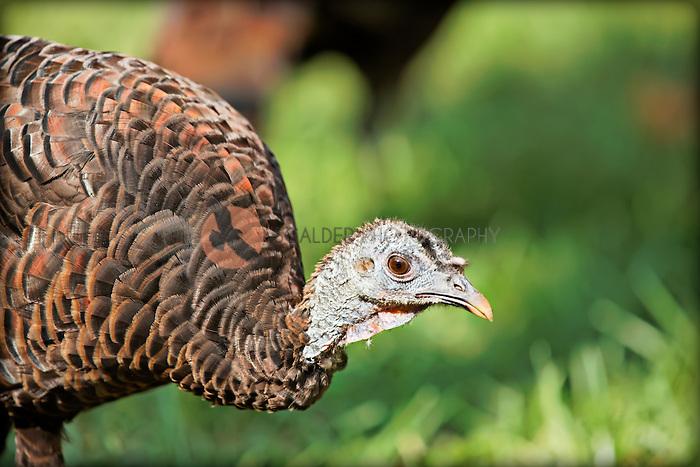 A Wild Turkey in sunlight with it's head down