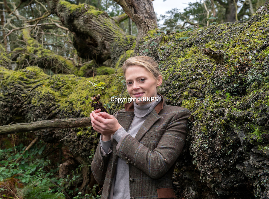 BNPS.co.uk (01202 558833)<br /> Pic: PhilYeomans/BNPS<br /> <br /> Rural manager Rachel Brodie with one of the tiny saplings next to an ancient fallen oak.<br /> <br /> Ancient oaks harvested for tiny acorns...<br /> <br /> Foresters at Blenheim Palace have painstakingly gathered 3,000 acorns in a bid to guarantee the future of Europe's largest gathering of ancient oak trees.<br /> <br /> They were picked up in High Park, a wooded area of the 2,000 acre Blenheim Estate in Oxon, Sir Winston Churchill's birthplace.<br /> <br /> It was originally created by Henry I as a deer park in the 12th century, with some surviving trees still standing 900 years on.<br /> <br /> The tiny oaks are currently being raised in glasshouses and small plantations and will eventually be planted across the estate.<br />  <br /> It is hoped the saplings, all direct descendants of the original trees, will help ensure the legacy of Blenheim's ancient oaks lives on for centuries to come.