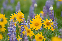 Wild wilflower garden--balsamroot and lupine.  Northwestern Wyoming.
