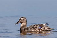 Stockente, Stock-Ente, Weibchen schwimmend, Anas platyrhynchos, mallard
