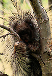 A North American porcupine grasps a small tree trunk, Denali National Park, Alaska.