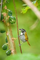 Black-headed Saltator feeding, Belize