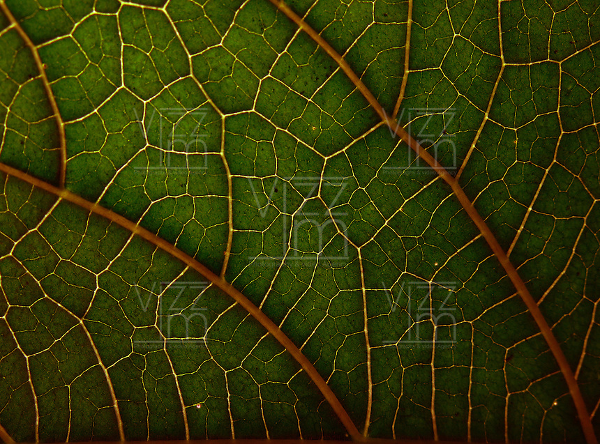 BOGOTÁ-COLOMBIA-12-01-2013. Hoja de un árbol en primer plano. Tree's leaf close-up. (Photo:VizzorImage)