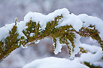 A fresh snow fall clings to a juniper branch