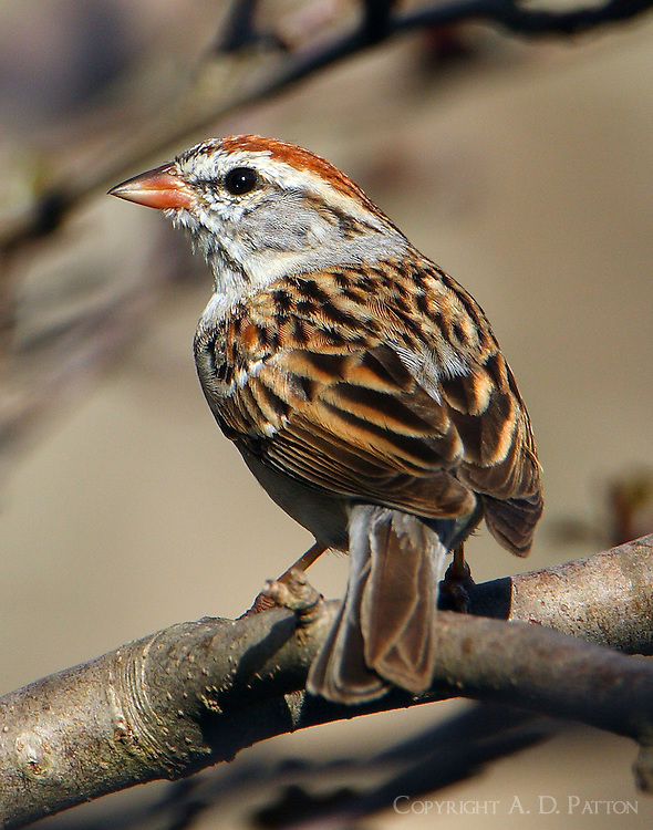 Adult chipping sparrow in breeding plumage