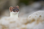 A Stoat (Mustela erminea) sticking his head above a rock. Wales, UK