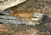 1122-0804  Bark Scorpion, Centruroides exilicauda © David Kuhn/Dwight Kuhn Photography