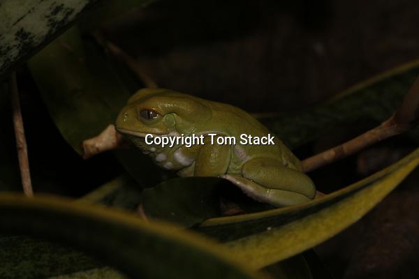 Waxy Monkey Frog,