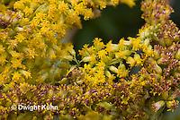 AM01-561z  Ambush Bug camouflaged on goldenrod, Phymata americana