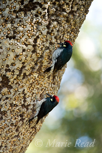 Acorn Woodpeckers (Melanerpes formicivorus), 2 males at granary tree showing many stored acorns, Orange County, California, USA