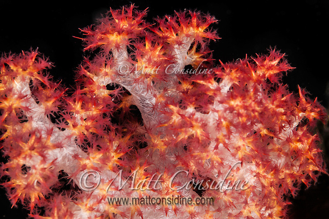Finely structured soft coral. (Photo by Travel Photographer Matt Considie)