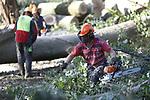 Foto: VidiPhoto<br /> <br /> BLEISWIJK &ndash; Bosbouwers van een van de grootste bosexploitatiebedrijven van ons land, Van den Nagel Groep uit Elspeet, verwijderen dinsdag tientallen essen uit het natuurgebied de Bleiswijkse Zoom in Bleiswijk. In opdracht van Staatsbosbeheer worden in het gebied worden alle zieke essen verwijderd. Door het hele land zijn essen massaal aangetast door de schimmelziekte &lsquo;essentaksterfte&rsquo;. De es herstelt niet van deze ziekte die in een steeds hoger tempo toeslaat. Inmiddels is meer dan 80 procent van de essen in Nederland aangetast. De verwachting is dat hooguit 10 procent van de essen de ziekte zal overleven. Door de aantasting zijn de zieke bomen zwak en kunnen ze omvallen. Reden voor Staatsbosbeheer om in het kader van veiligheid in te grijpen. Om het snel verwijderen van de stammen uit het gebied mogelijk te maken heeft Van den Nagel een pontonbrug aangelegd. Zodra al het hout is verwijderd, wordt het terrein gereedgemaakt voor herplant. In de gedeelten van de Bleiswijkse Zoom Noord, waar veel aangetaste essen bij elkaar staan, wordt in 2019-2020 nieuw plantsoen -diverse boom- en struiksoorten- geplant.
