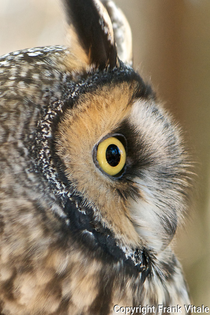 This male Long-eared Owl, called Leo, resides at the Center for Wildlife in Cape Neddick, ME. It is being cared for at the Center for an injury that prevents it from being returned to the wild.