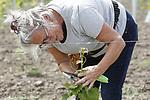 """Foto: VidiPhoto<br /> <br /> ELST – Nederland heeft er een wijngaard bij. In Elst Gelderland wordt door de eigenaren Arjan en Ingrid Stam maandag hard gewerkt aan de jonge druivenstokken. Terwijl Arjan de kartonnen bescherming tegen hazen weghaalt -de planten zijn nu groot genoeg- verwijdert Ingrid de overtollige uitlopers. De onderstammen die worden gebruikt zijn geschikt voor de zware rivierklei in de Betuwe. Van het eerste deel van de nieuwe wijngaard, die vorig jaar al is aangeplant, worden dit najaar de eerste 'proefdruiven' geplukt om voorjaar 2020 de kwaliteit van de wijn te kunnen bepalen. De 4000 druivenstokken moeten in de toekomst 4000 flessen """"champagne-achtige wijnen"""" opleveren, die als streekproduct verkocht worden. De kersverse wijngaardeniers willen in hun wijngaard straks ook rondleidingen geven. De wijngaard krijgt straks vermoedelijk de naam Wijndomein Keulenhof, een eerbetoon aan het boerenbedrijf waarop de wijngaard staat en waarvan de oom en tante van Arjan en Ingrid eigenaar zijn. Keulenhof was een vroeger een gemengd agrarisch bedrijf met koeien, akkerbouw en fruit."""