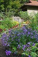 September garden with Aster dumosus 'Sapphire', morning glory flower vine on fence, house, picket gate, annual begonia flowers, tomato vegetable plants, coleus