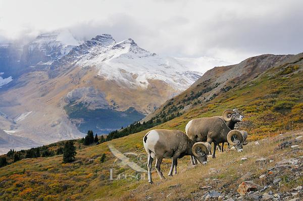 Bighorn Sheep Rams (Ovis canadensis) graze in subalpine meadow.  Northern Rockies.  Fall.