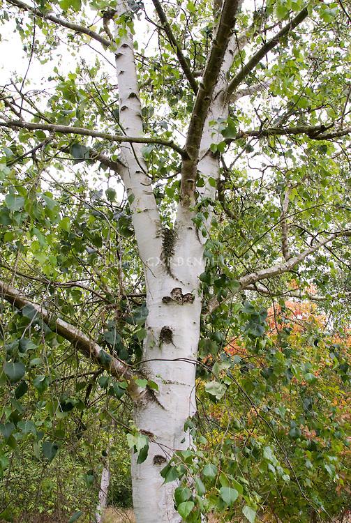 Betula szechuanica (Szechuan White Birch) tree trunk bark