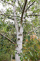 Betula szechuanica (Szechuan White Birch) tree trunk bark