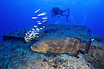 Epinephelus itajara, Goliath grouper, Florida Keys