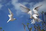 Goélette blanche ou Oiseau la Vierge (gygis alba) , Réserve naturelle de l'île aux Cocos..Fairy tern (gygis alba) Cocos island, nature reserve dedicated to birds..