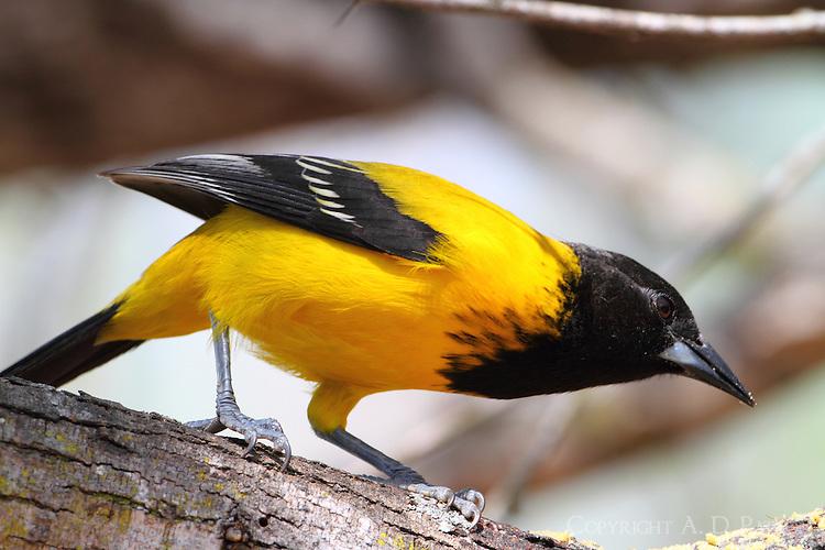 Audubon's oriole