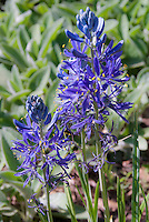 Camassia quamash in blue spring flowers, wetlands plant bulb, small camas, north American wildflower
