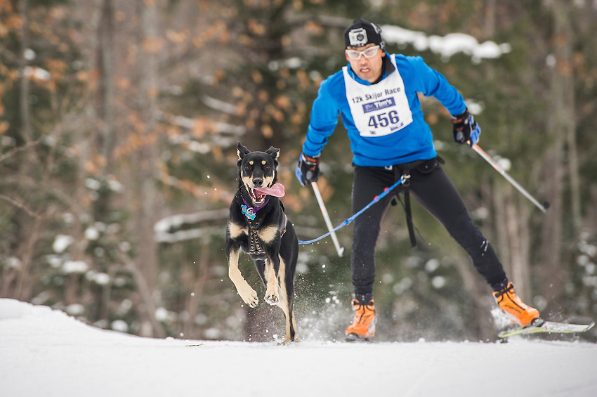 Skijoring skiing with dogs race during the Noquemanon Ski Marathon weekend in Marquette, Michigan.