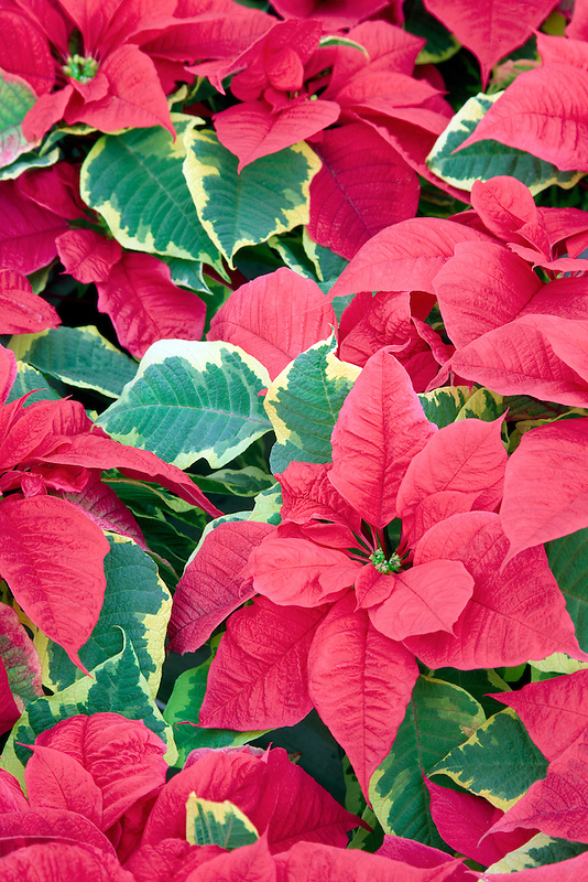 Holly Point Pointtsettias. Al's Nursery, Sherwood