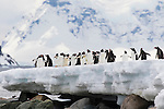 Gentoo Penguins on Danco Island, Antarctica