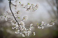 150415_PLA_CherryBlossoms