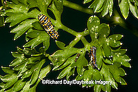 03009-015.12 Black Swallowtail (Papilio polyxenes) caterpillars/larvae on parsley Marion Co. IL