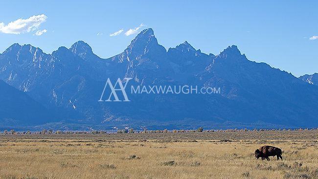 A bison wanders in front of the Grand Tetons.