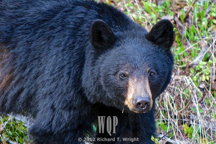 A young black bear with a hide rubbed from hibernation  forages in spring for roots and greens in the Cariboo mountains of B.C.'s