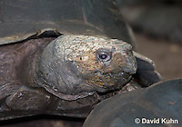 0218-1104  Asian Forest Tortoise (Burmese Black Tortoise), Found Northeast Taiwan to India, Manouria emys phayrei  © David Kuhn/Dwight Kuhn Photography