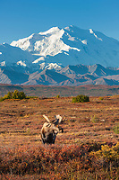 Bull moose stand on the autumn tundra, Denali in the distance, Denali National Park, Alaska.