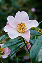 Camellia x Williamsii 'JC Williams'. Caerhays origin. Named after the founder of the garden in 1933. FCC 1942. AGM 1984.